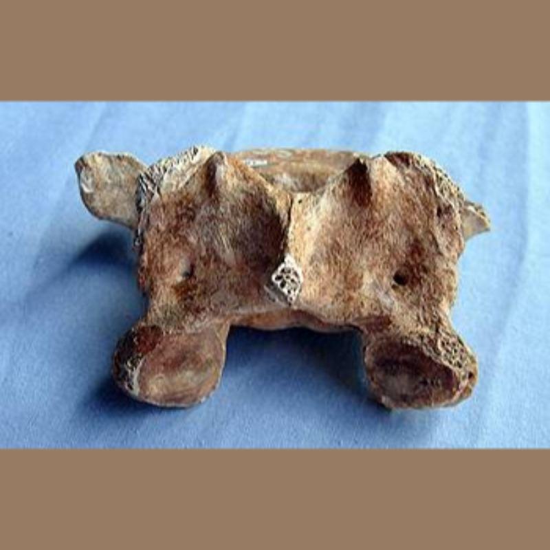 Smilodon Fatalis Vertebra Fossil | Fossils & Artifacts for Sale | Paleo Enterprises | Fossils & Artifacts for Sale