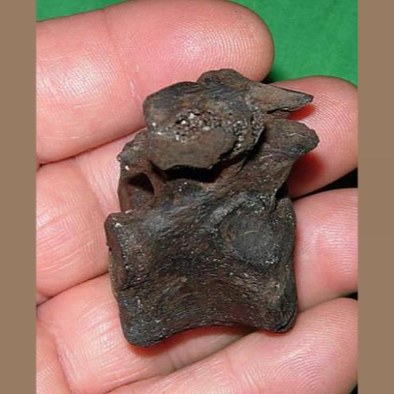 Jaguar Vertebra | Fossils & Artifacts for Sale | Paleo Enterprises | Fossils & Artifacts for Sale