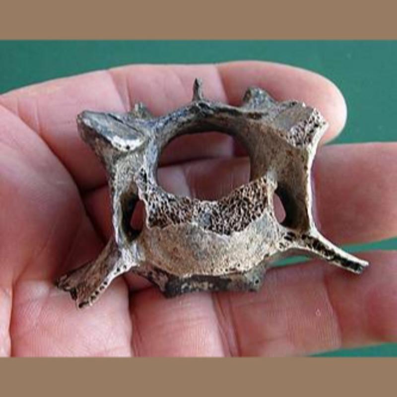 Jaguar Vertebra Fossil   Fossils & Artifacts for Sale   Paleo Enterprises   Fossils & Artifacts for Sale