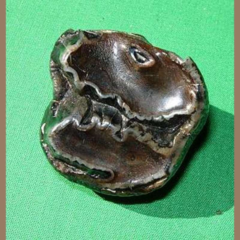 Baby Mastodon Tooth Fossil   Fossils & Artifacts for Sale   Paleo Enterprises   Fossils & Artifacts for Sale