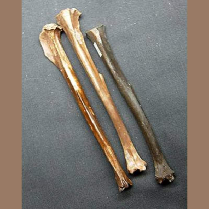 Cotton Tail Rabbit Tibia  Fossil | Fossils & Artifacts for Sale | Paleo Enterprises | Fossils & Artifacts for Sale