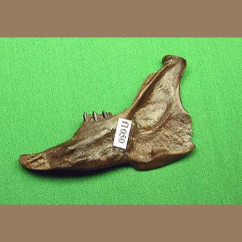 Cotton Tail Rabbit Fossil | Fossils & Artifacts for Sale | Paleo Enterprises | Fossils & Artifacts for Sale