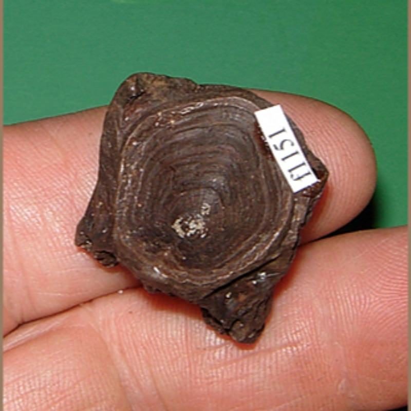 Redfish Vertebra Fossil | Fossils & Artifacts for Sale | Paleo Enterprises | Fossils & Artifacts for Sale