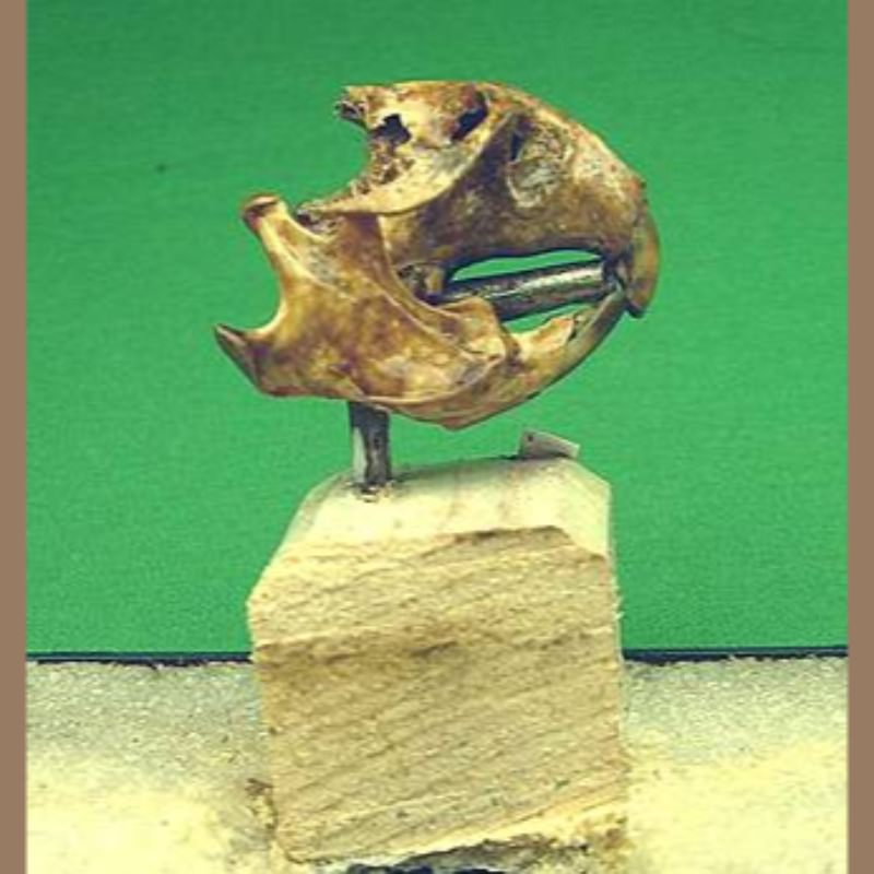 Meadow VoleFossil | Fossils & Artifacts for Sale | Paleo Enterprises | Fossils & Artifacts for Sale