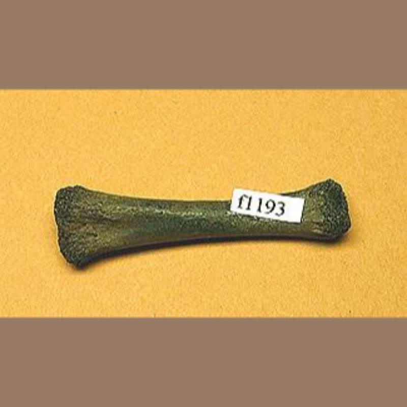 Alligator Toe Bone Fossil | Fossils & Artifacts for Sale | Paleo Enterprises | Fossils & Artifacts for Sale