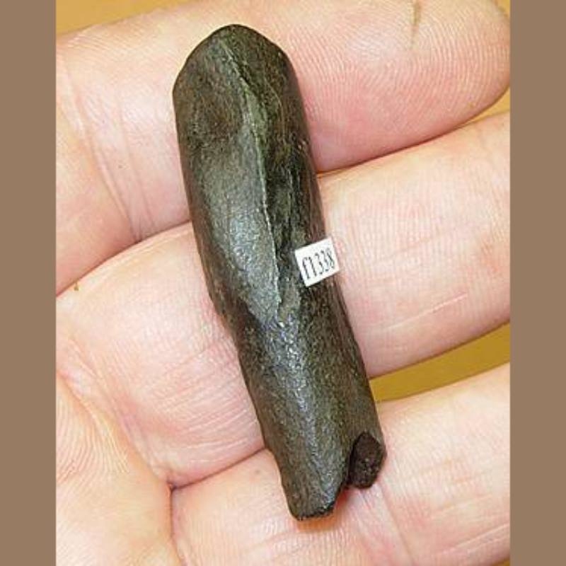 Dugong Upper TuskFossil | Fossils & Artifacts for Sale | Paleo Enterprises | Fossils & Artifacts for Sale