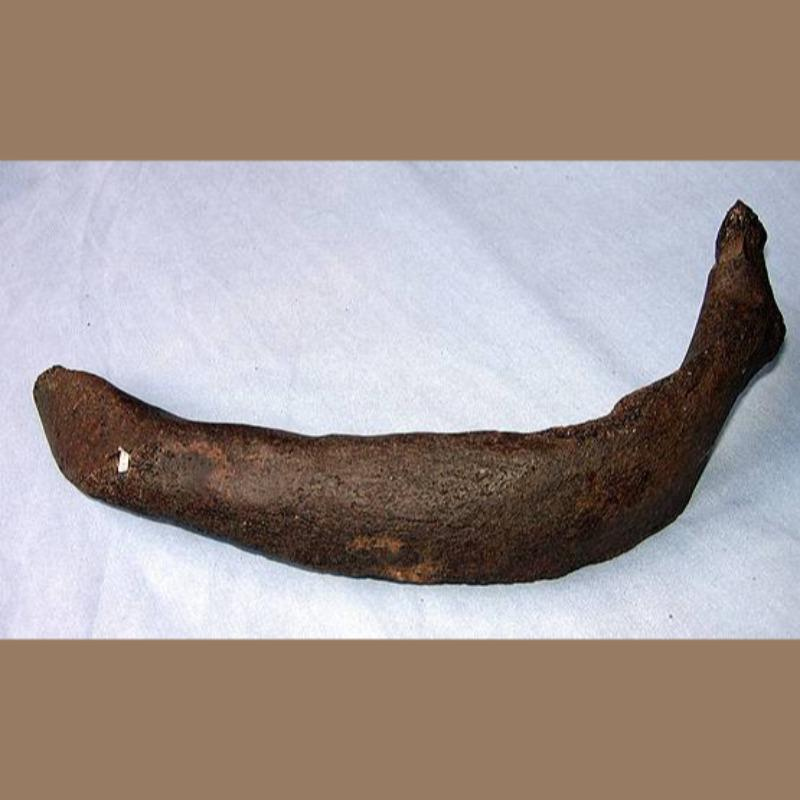 Manatee Fossil 2-19 | Fossils & Artifacts for Sale | Paleo Enterprises | Fossils & Artifacts for Sale