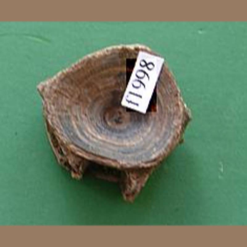 Red Fish Vertebra Fossil | Fossils & Artifacts for Sale | Paleo Enterprises | Fossils & Artifacts for Sale