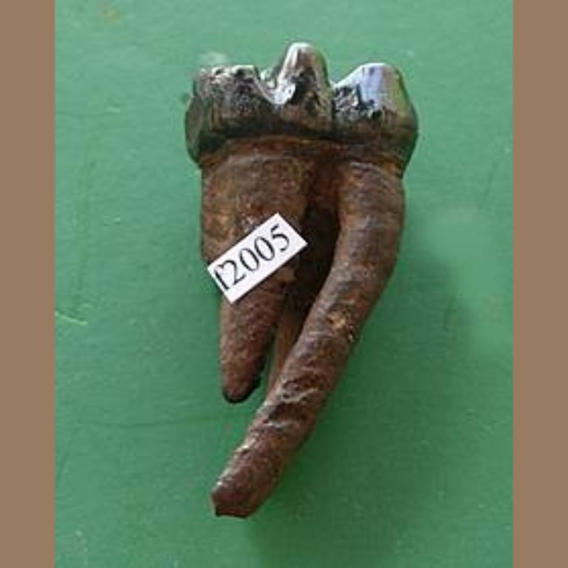 Manatee Tooth Fossil | Fossils & Artifacts for Sale | Paleo Enterprises | Fossils & Artifacts for Sale