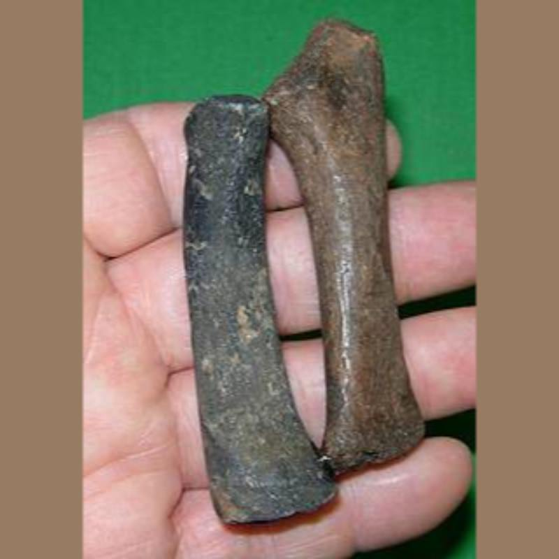 Manatee Radio-Ulna Fossil | Fossils & Artifacts for Sale | Paleo Enterprises | Fossils & Artifacts for Sale