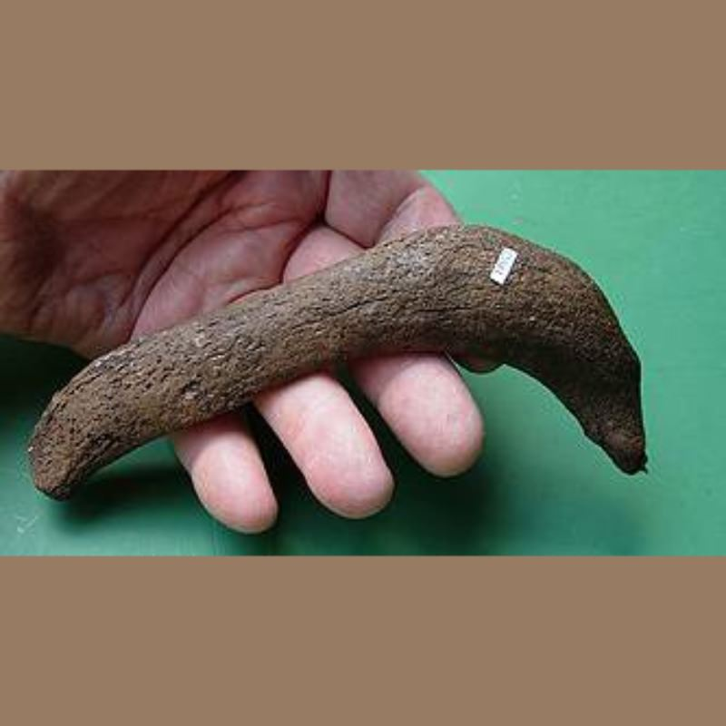 Manatee Rib Fossil | Fossils & Artifacts for Sale | Paleo Enterprises | Fossils & Artifacts for Sale
