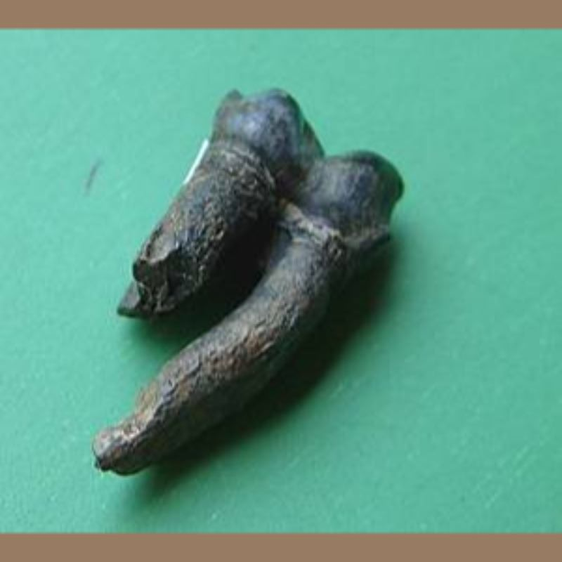 Manatee ToothFossil | Fossils & Artifacts for Sale | Paleo Enterprises | Fossils & Artifacts for Sale
