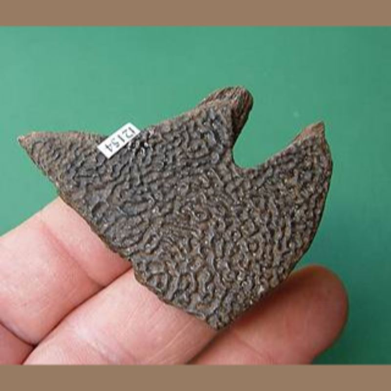 Softshelled Turtle Fossil | Fossils & Artifacts for Sale | Paleo Enterprises | Fossils & Artifacts for Sale