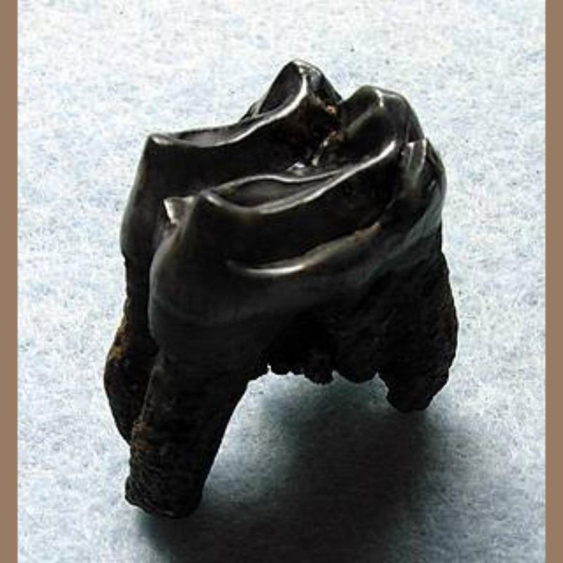 Tapir Molar Fossil | Fossils & Artifacts for Sale | Paleo Enterprises | Fossils & Artifacts for Sale