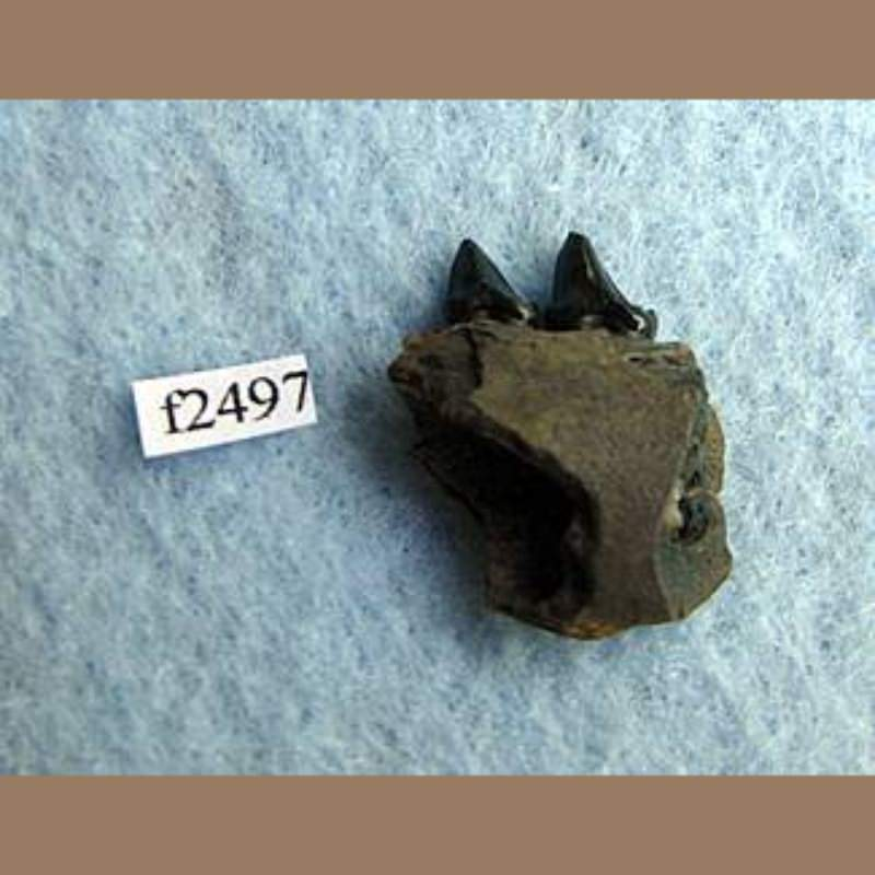 OpossumFossil | Fossils & Artifacts for Sale | Paleo Enterprises | Fossils & Artifacts for Sale