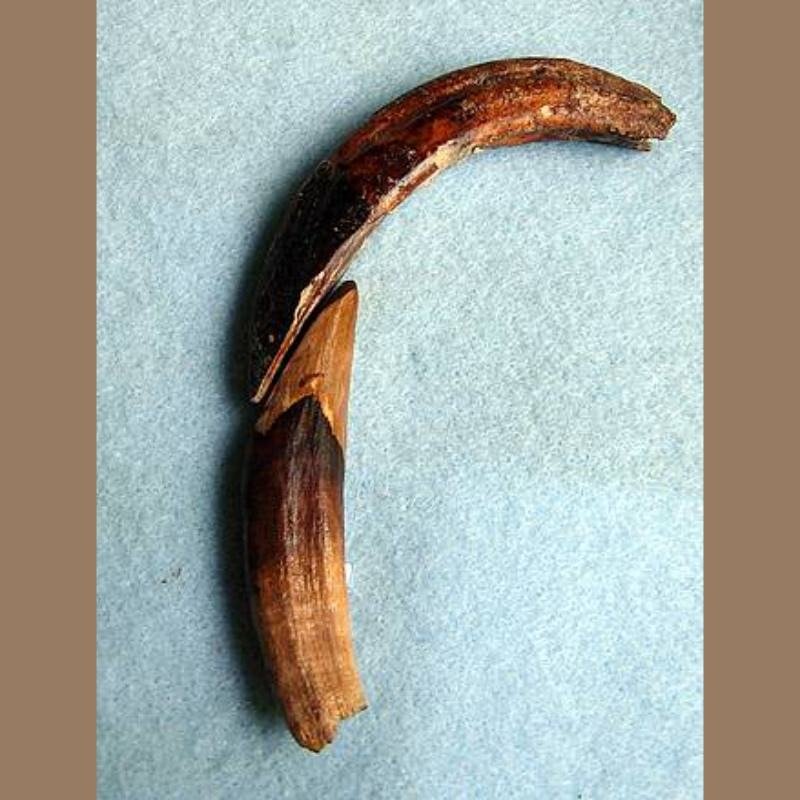 Peccary CaninesFossil   Fossils & Artifacts for Sale   Paleo Enterprises   Fossils & Artifacts for Sale
