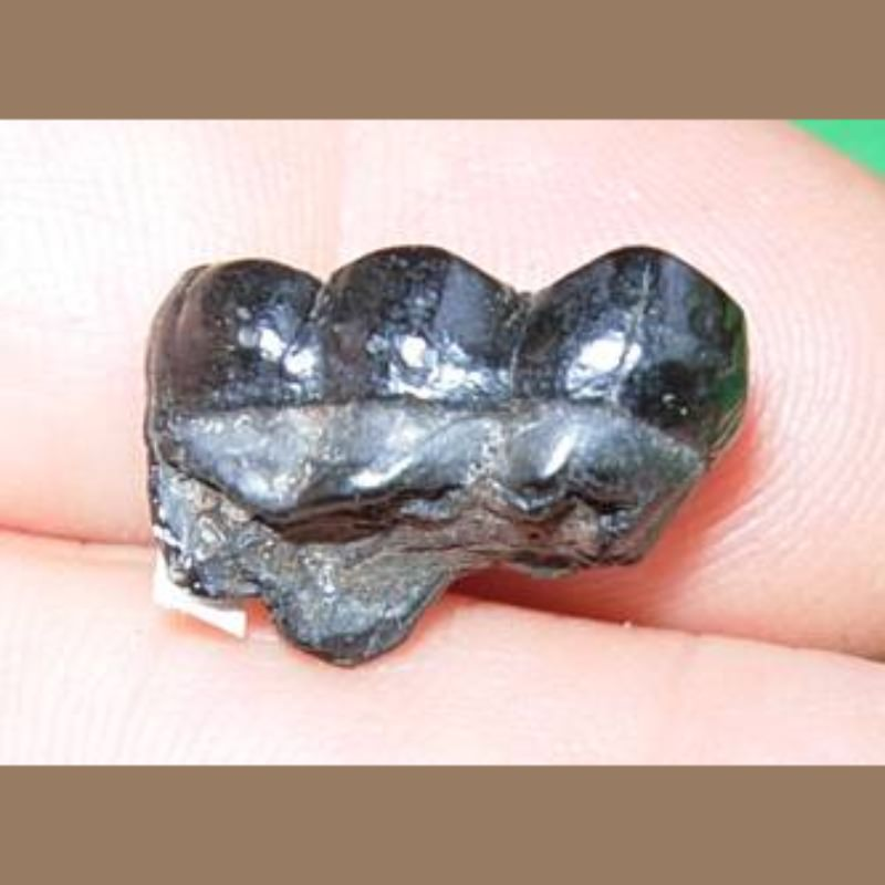 Peccary Molar Fossil | Fossils & Artifacts for Sale | Paleo Enterprises | Fossils & Artifacts for Sale