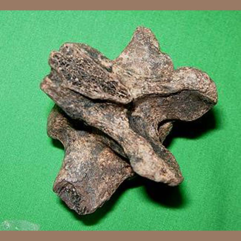 Sloth Vertebra Likely Megalonyx Fossil | Fossils & Artifacts for Sale | Paleo Enterprises | Fossils & Artifacts for Sale